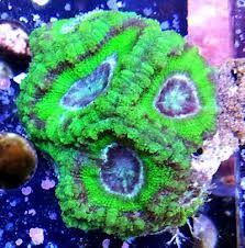 acanthastrea lordhowensis green-0