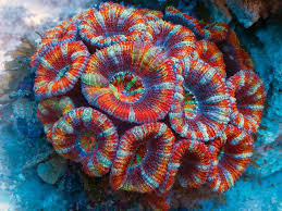 acanthastrea lordhowensis rainbow-0