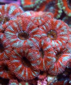 acanthastrea lordhowensis red-0