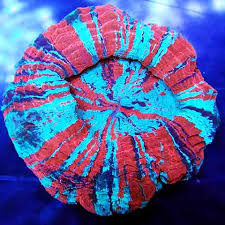 acanthophyllia deshayesiana rainbow green/blue with red stripes-0