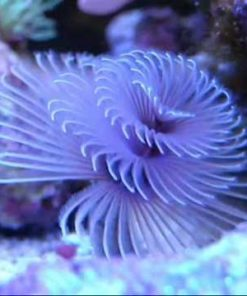 sabellastarte sp. purple-0