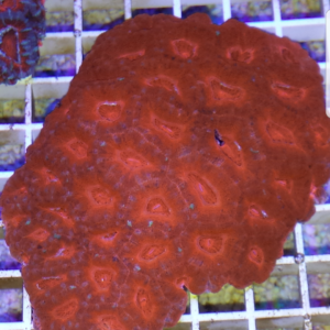Acanthastrea ultra red-0