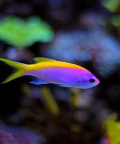 Anthias Evansi